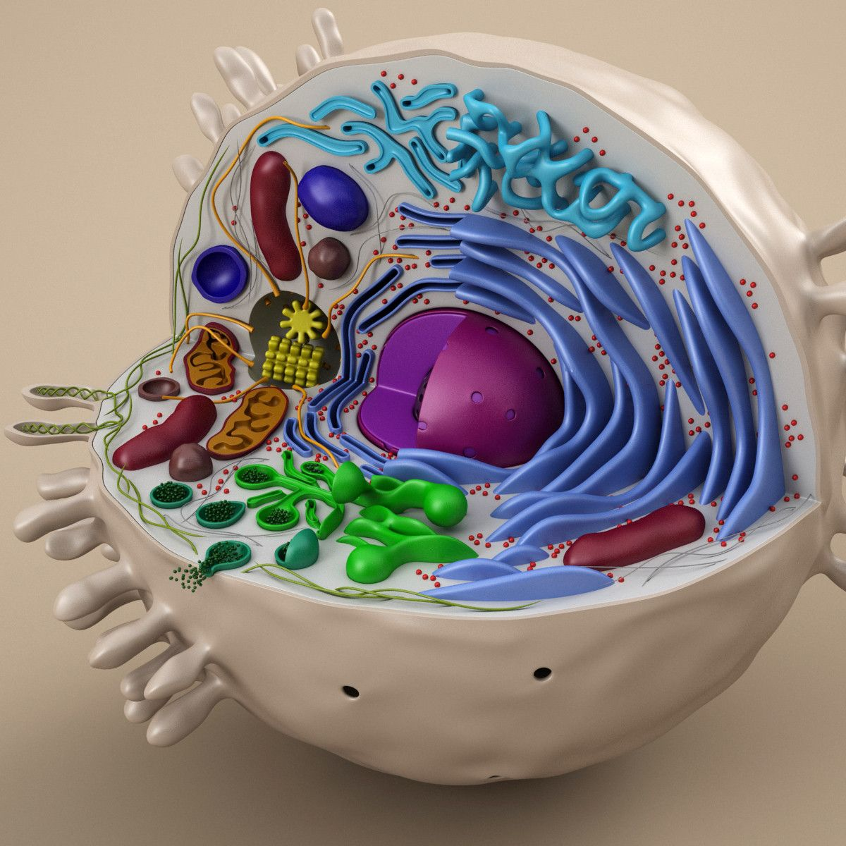 cell animal 3d model | Células | Pinterest | Celulas, Experimentos ...