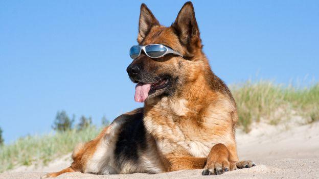Immagine di http://www.deabyday.tv/data/guides/cuccioli-e-co/cani/Come-proteggere-gli-occhi-del-cane-dal-sole/image_big_16_9/1cane-con-occhiali_come-proteggere-occhi-dal-sole.jpg.