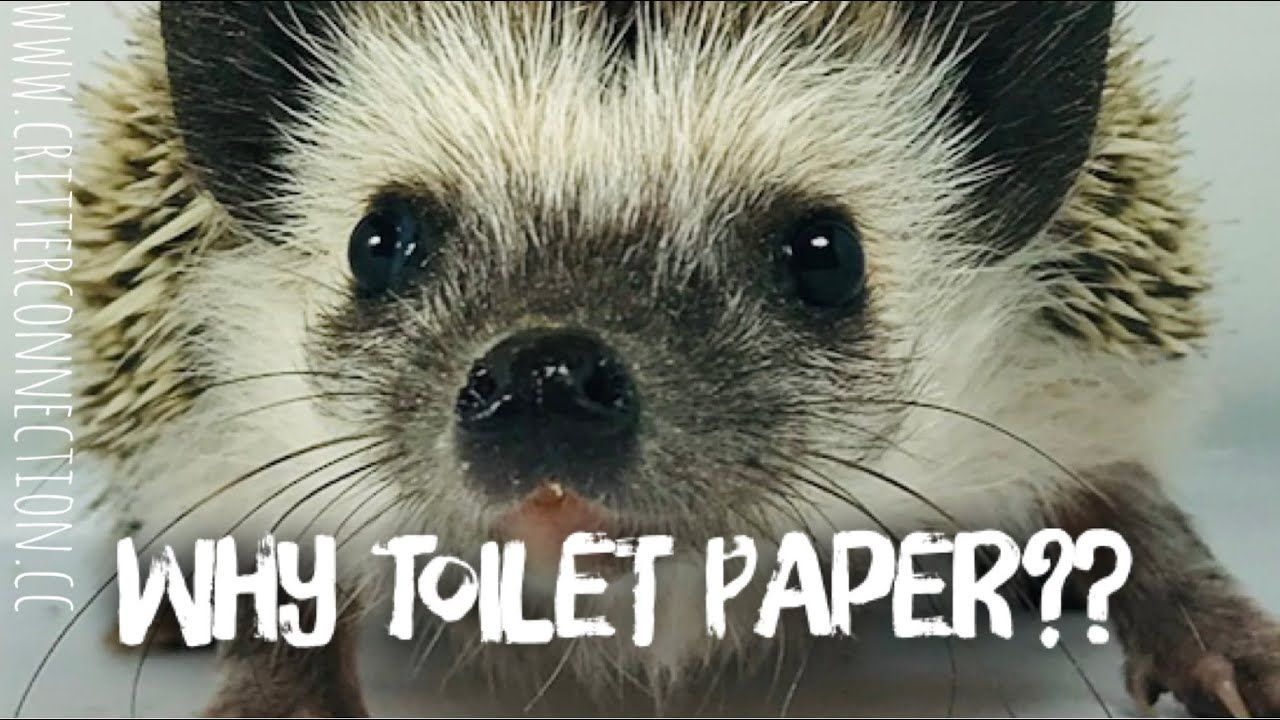 Seriously No Toilet Paper Hedgehog Don T Get It Either In 2020 Hedgehog Pets Funny