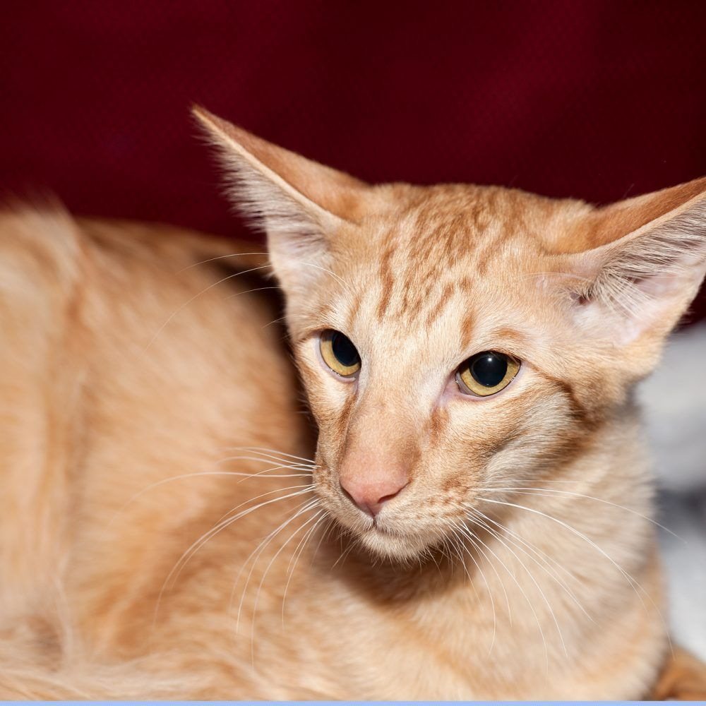 Javanese Kittens for Sale & Cats for Adoption Cat breeds