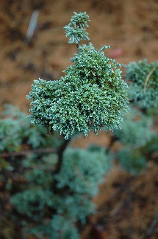 Find Dwarf Moss Falsecypress (Chamaecyparis Pisifera U0027Squarrosa Minimau0027) In  Raleigh Wake Forest Morrisville Durham Cary North Carolina NC At Atlantic  Avenue ...