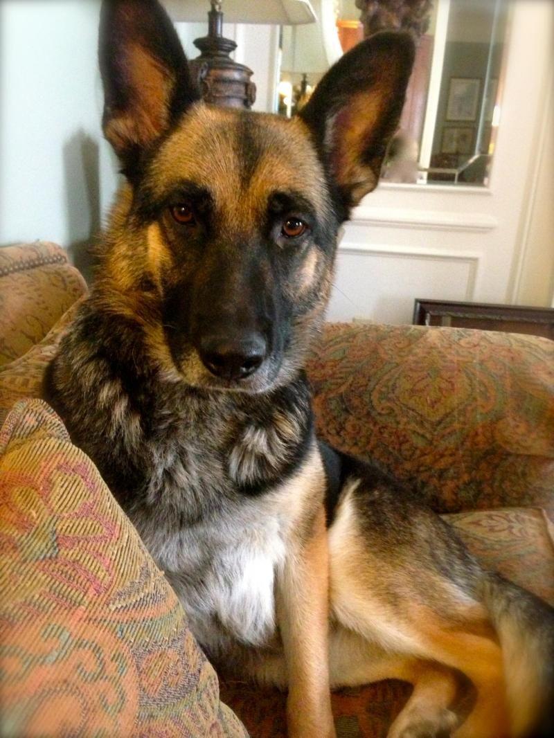 Adopt Bella on German shepherd dogs, Shepherd dog, Puppies