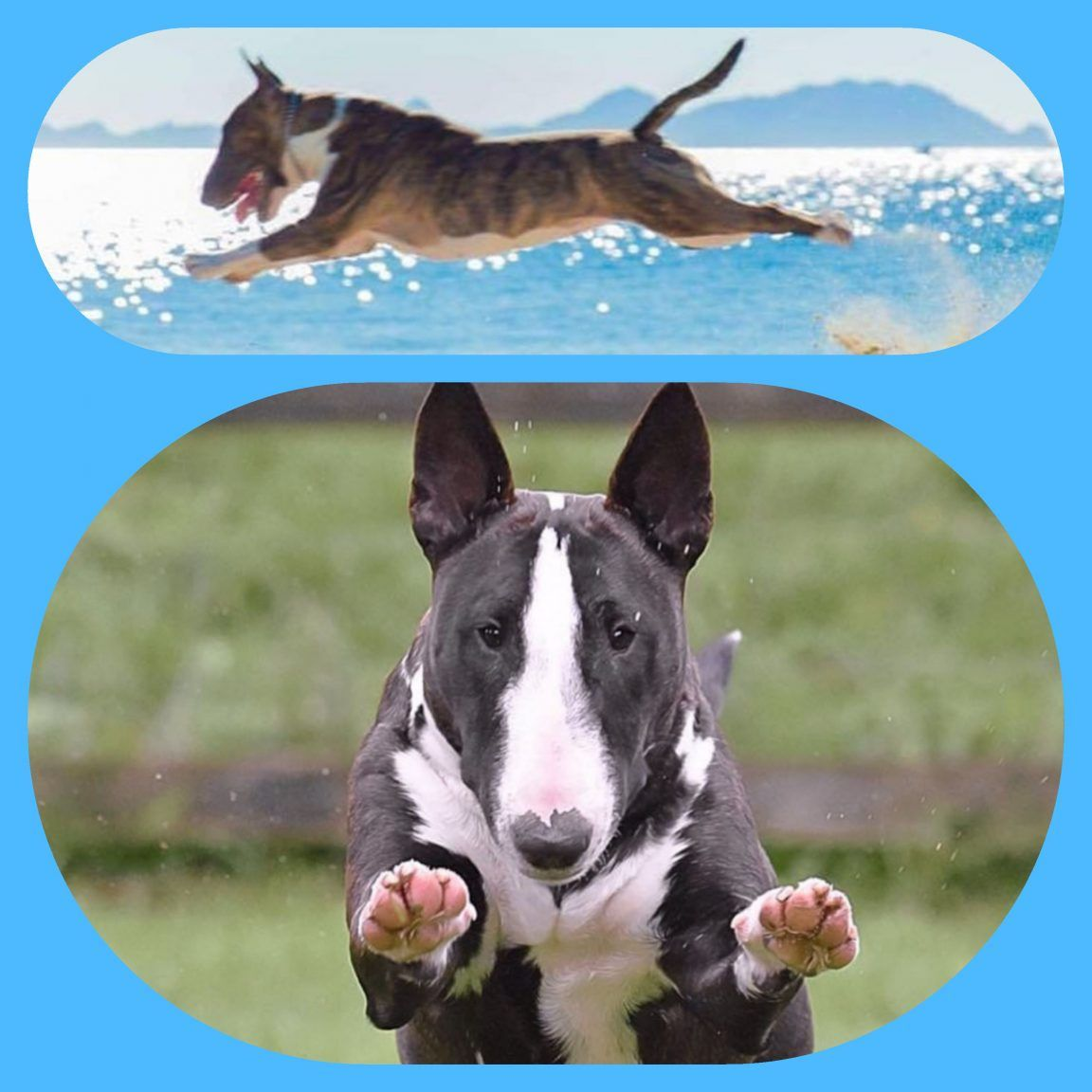 12 Funny English Bull Terrier Dog Pictures Page 5 Of 5 The Paws English Bull Terriers Bull Terrier Pitbull Terrier