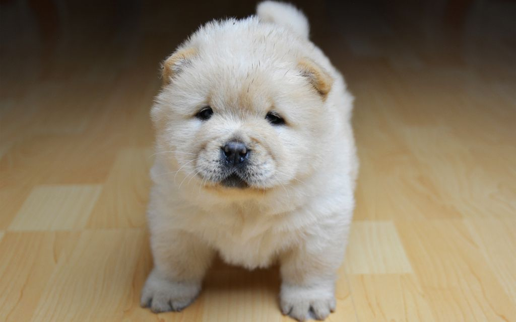 Chow Chow Puppies Breed Information Puppies For Sale Chow Chow