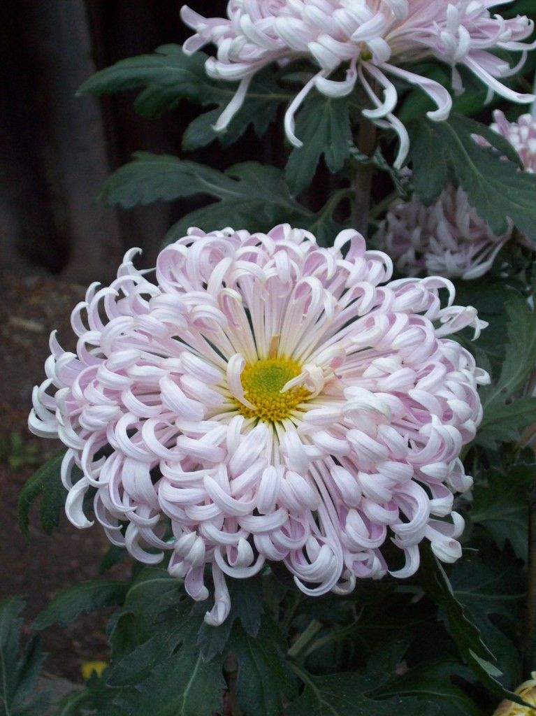 Exotic chrysanthemum flower - Google Search