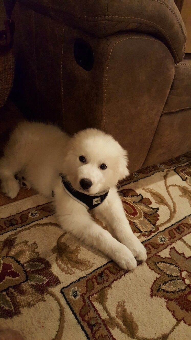 Kingston Kerr Our Handsome 10 Week Old Great Pyrenees Puppy Honden