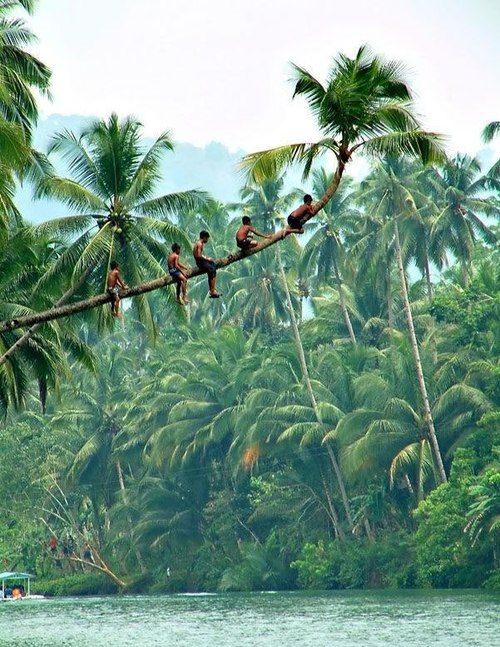 Coconut palm climbers...