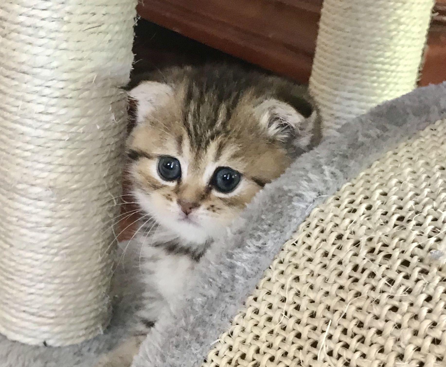 Scottish Fold Golden Tabby Female Kitten 1950 In 2020 Scottish Fold Feline Leukemia Golden Tabby