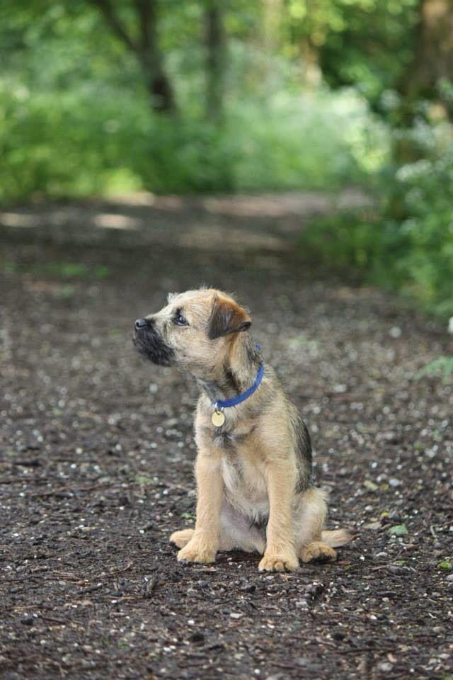 Borderterrier, 16 weeks old! Border terrier, Dog breeds