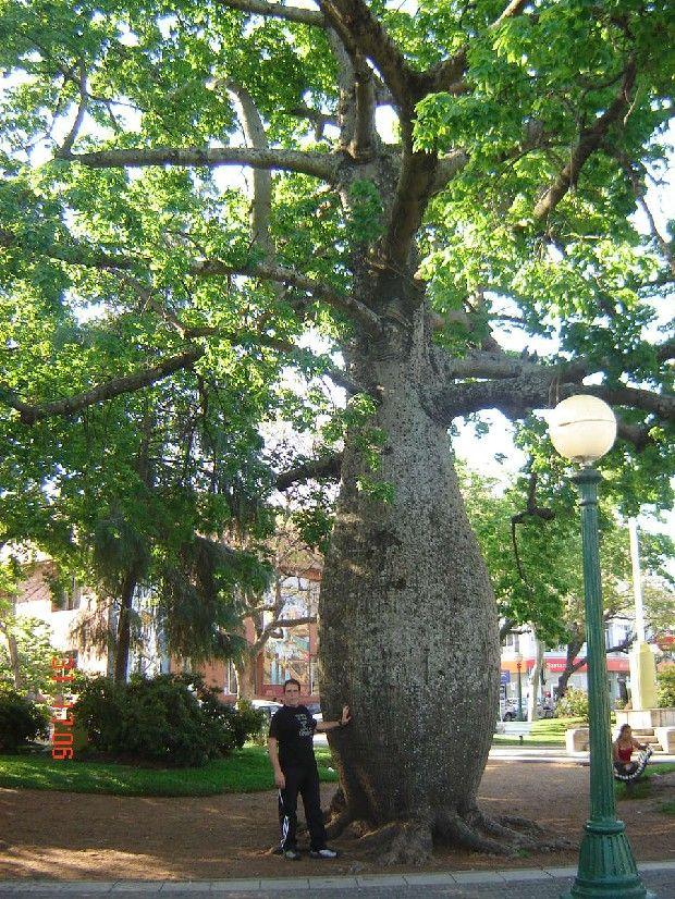 Rbol palo borracho en plaza de concordia entre r os ar for Arboles perennes en argentina