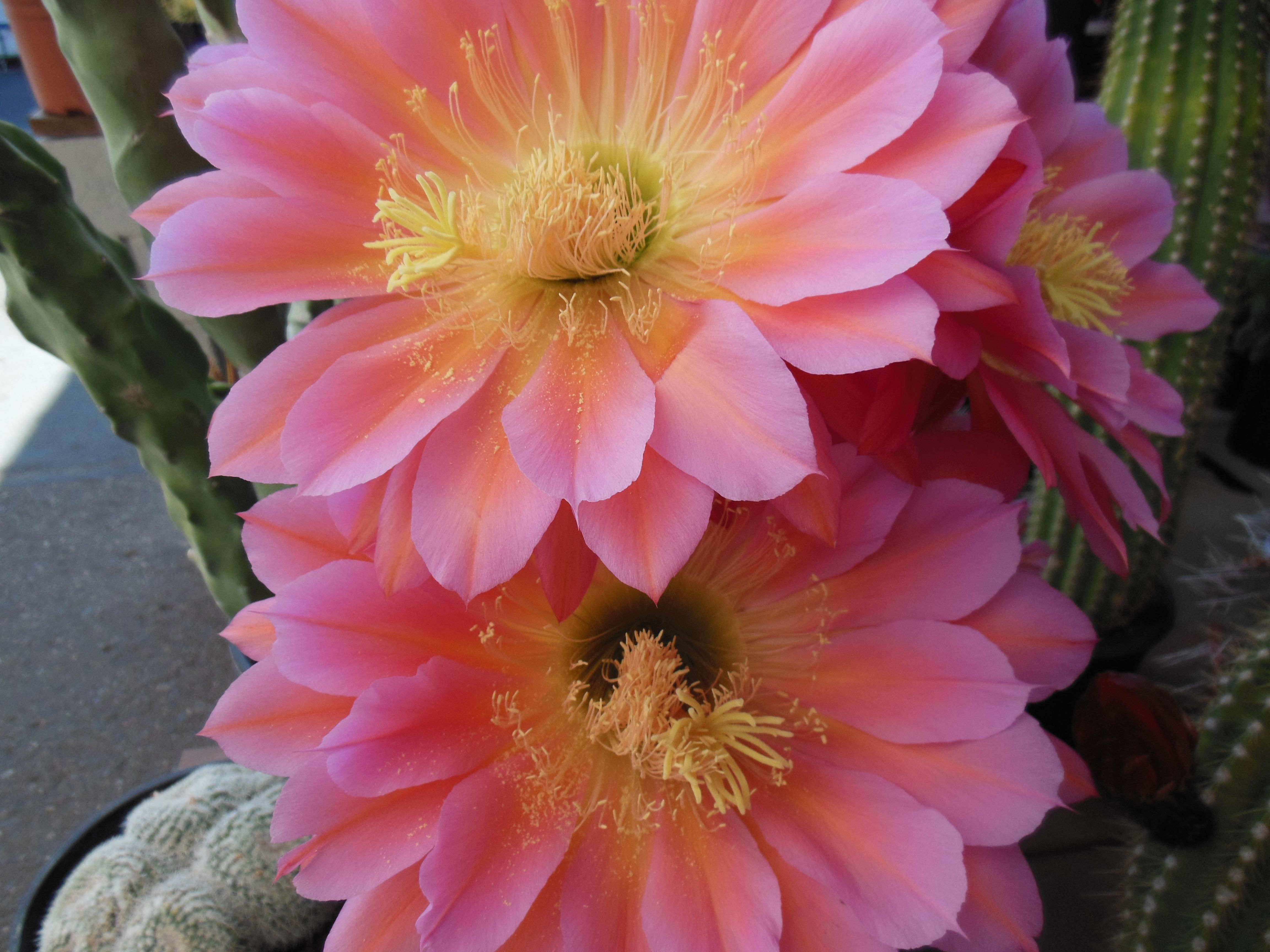A Beautiful Cactus Flower Larger Than Your Spread Open Hand