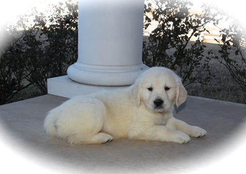 Golden Retriever puppy for sale in KRUM, TX. ADN61559 on