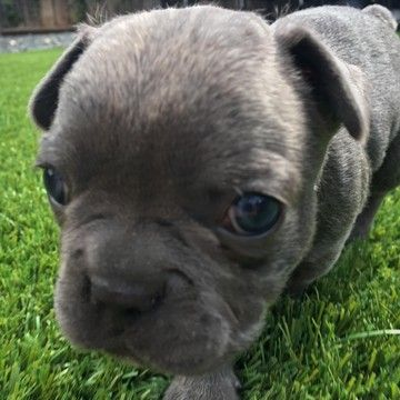 Litter Of 7 French Bulldog Puppies For Sale In Modesto Ca Adn