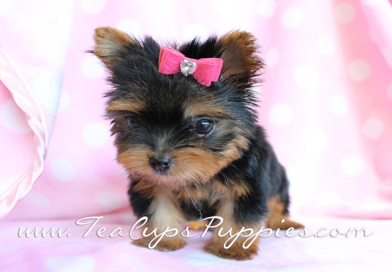 Yorkshire terrier puppies newcastle upon tyne