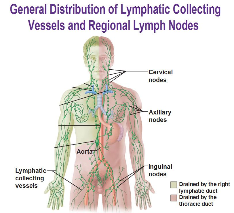 Lymph Nodes And Lymphatic Collecting Vessels Inguinal Axillary
