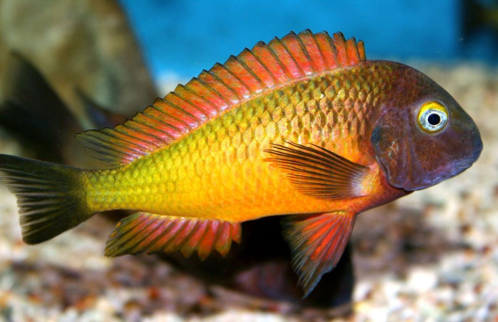 Tropheus Ilangi One Of The Most Spectacular Tropheus Imo Fishaccordingtosteve Com African Cichlid Aquarium Aquarium Fish Cichlids