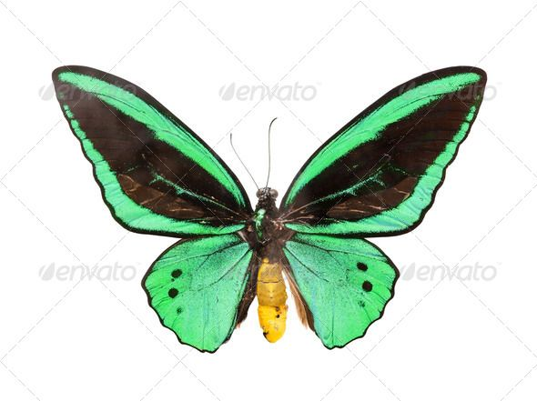 Realistic Graphic DOWNLOAD (.ai, .psd) :: http://jquery-css.de/pinterest-itmid-1006971601i.html ... butterfly ...  animal, background, bright, butterfly, green, insect, isolated, white  ... Realistic Photo Graphic Print Obejct Business Web Elements Illustration Design Templates ... DOWNLOAD :: http://jquery-css.de/pinterest-itmid-1006971601i.html