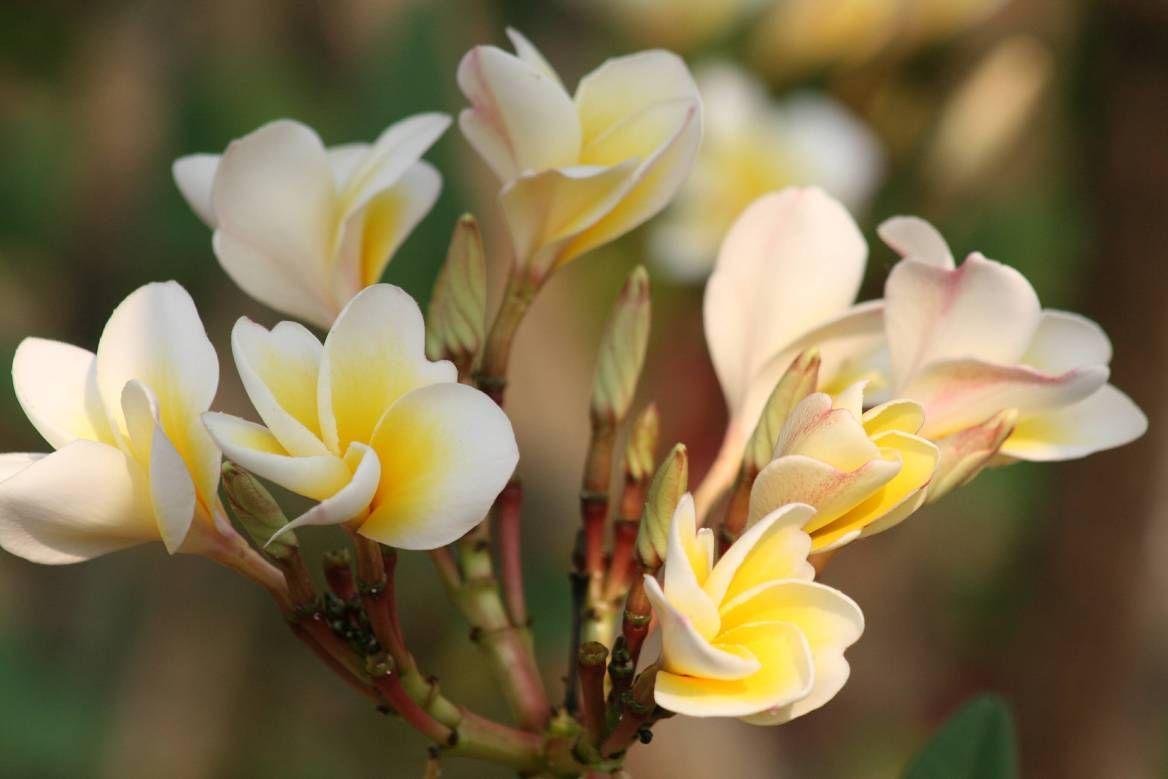 The Fickle Frangipani (With images) Frangipani, Flowers