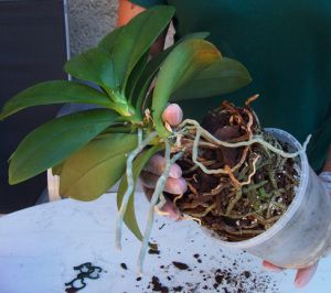 rempoter une orchid e plantes pinterest rempoter orchid e orchid e et rempotage orchid e. Black Bedroom Furniture Sets. Home Design Ideas