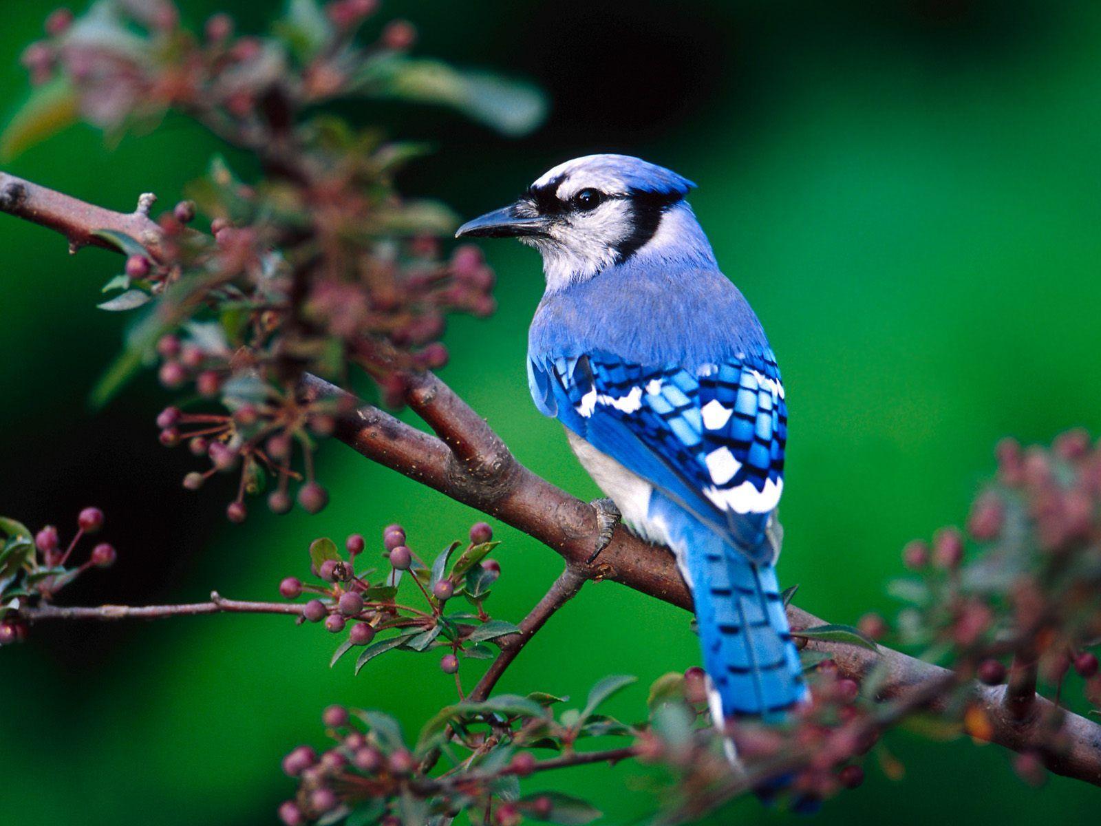 Nature Photography 1 Michelle S Post Beautiful Bird Wallpaper Most Beautiful Birds Blue Jay Bird