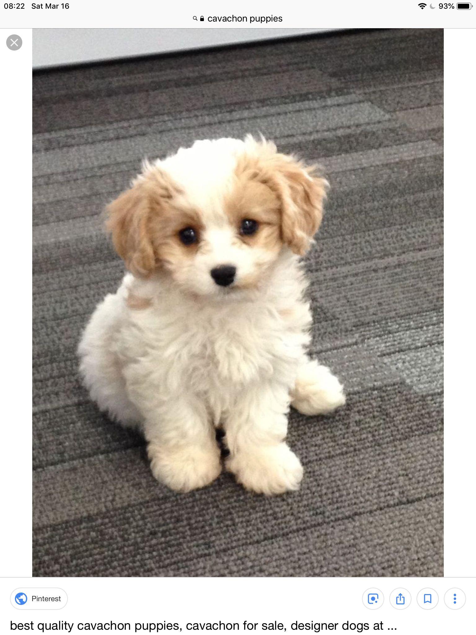 Pin By Olga Ibarra On Favorite Pets Cavachon Puppies Cavalier Puppy Puppies