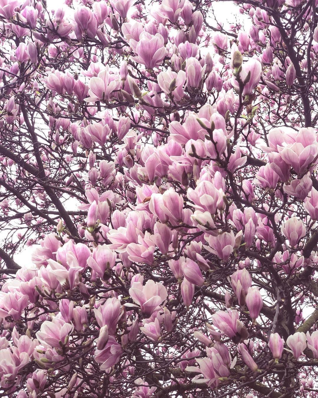 Magnolia In Bloom London England By Miranda Jane Mills Mirandasnotebook On Instagram With Images Beautiful Blooms Instagram Bloom