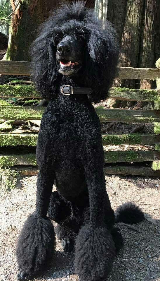 Black Standard Poodel Black Standard Poodle Poodle Dogs