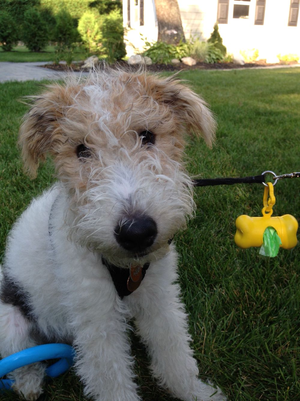 Fluffy face bilbo wire fox terrier   Naughty puppies   Pinterest ...