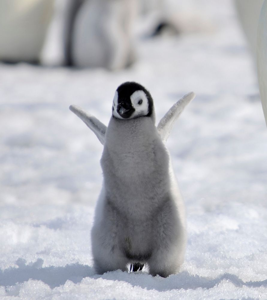 Baby emperor penguin stays with its parents at the polar house of - Baby Emperor Penguin By Laogephoto Deviantart Com On Deviantart