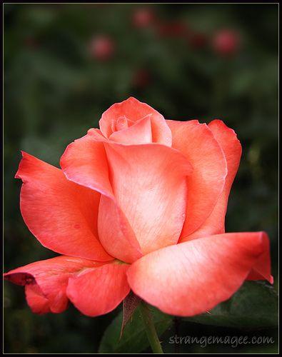 The Rose Flowers Idea Of Some Love Rose Fleurs Jardins