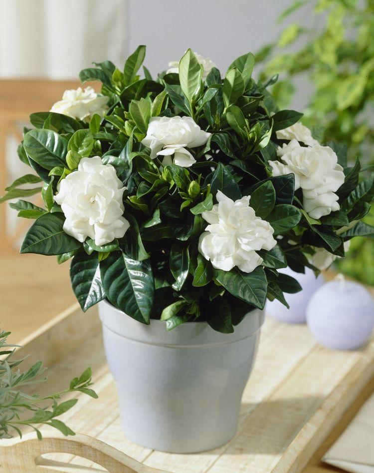 die zimmerpflanze art gardenie mit wei en romantischen. Black Bedroom Furniture Sets. Home Design Ideas
