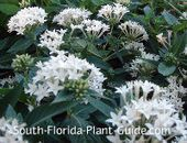 Everything you need to know about South Florida Landscape Plants  flower tree  florida