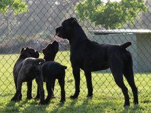 Numenor Kennels Cane Corso Kennel Cane Corso Italian Mastiff