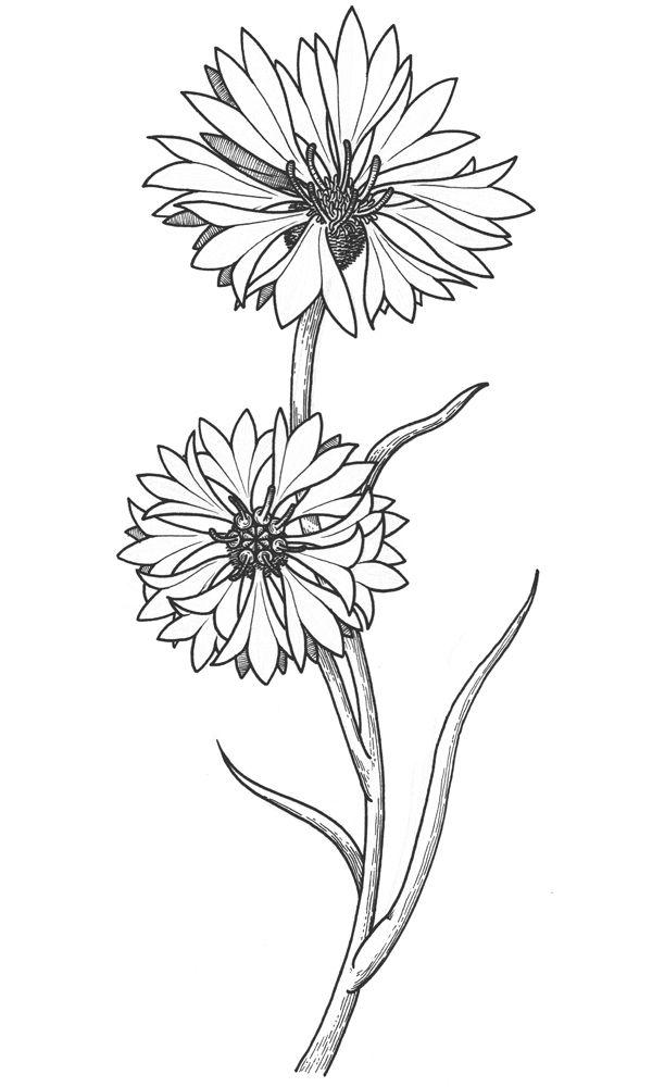 cornflower drawing   Поиск в Google   Flower drawing ...