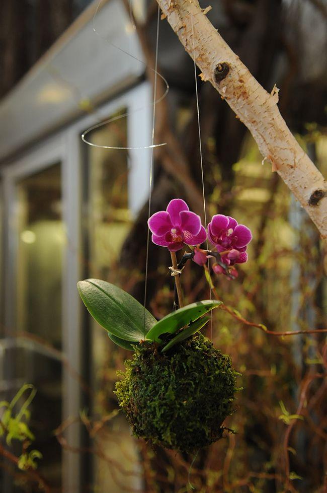 Fleurs Bella - Beautifiers: Kokedama now available at fleursBELLA Updated 38...