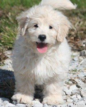Our F1b Mini Goldendoodle Puppies Are A Cross Between An F1