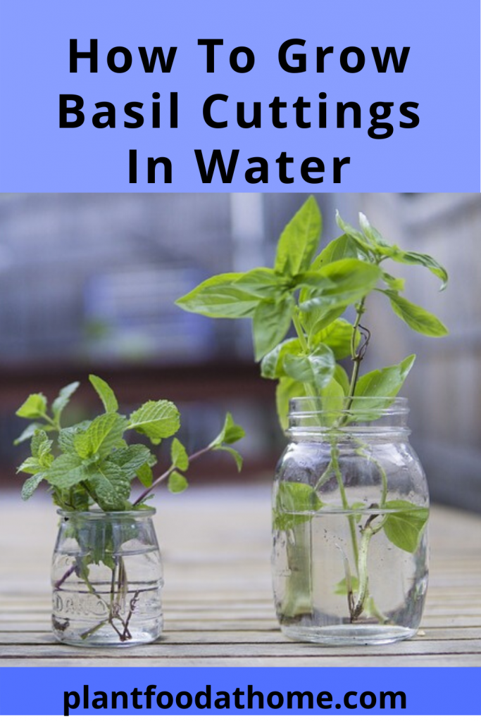 7 Tips To Successfully Grow Common Sweet Basil At Home is part of Basil plant, Growing basil, Growing basil indoors, Planting herbs, Water plants, Herbs - Have you ever wanted to grow your own basil at home but don't know where to start  We share 7 tips to help you successfully grow your own basil
