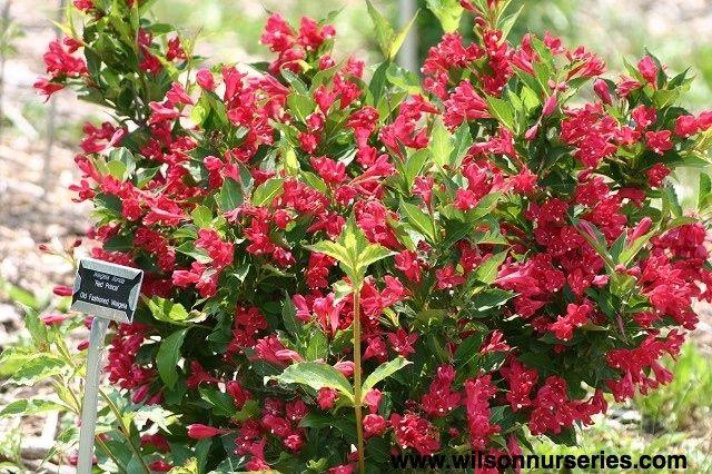merlot weigela wilson nurseries new garden pinterest plants gardens and flowers. Black Bedroom Furniture Sets. Home Design Ideas
