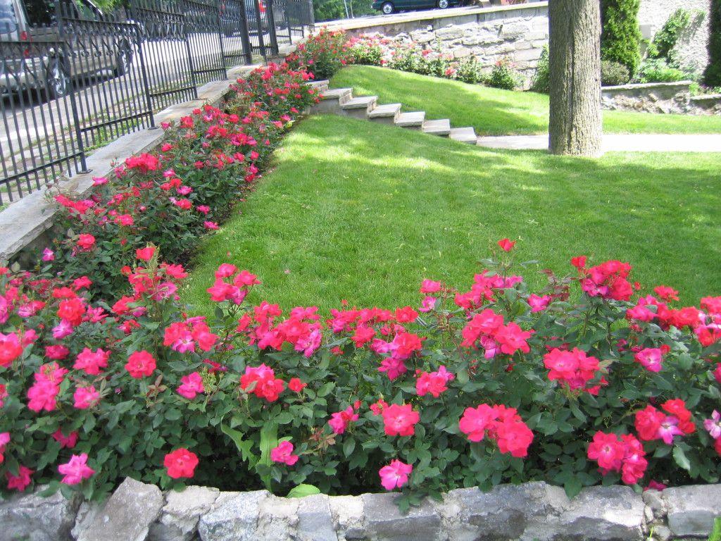 Garden Ideas With Knockout Roses Garden Design Rose Garden