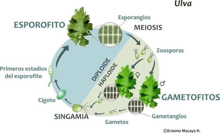 ciclos de vida Ulva