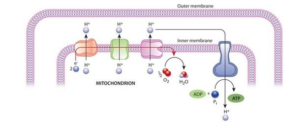 A schematic diagram shows how ATP is generated in mitochondria. The ...