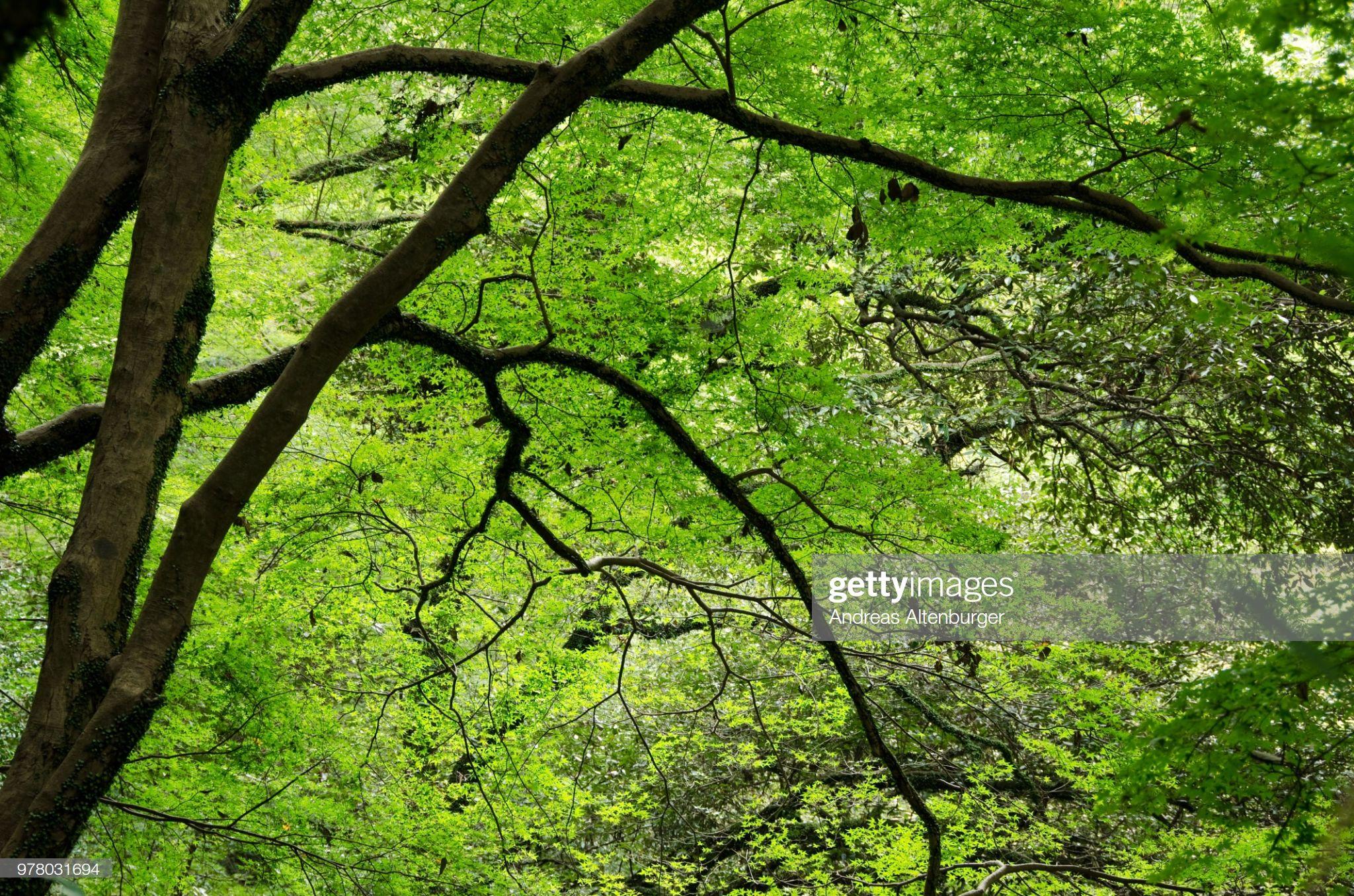 Stock Photo : Japanese maple tree in summer #japanesemaple