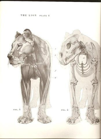 From An Atlas Of Animal Anatomy For Artists By W Ellenberger See