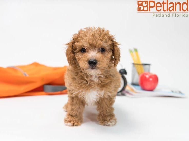 #poodle  #puppy  #doglover  #adorable  #dog  #cute  #pet  #dogoftheday  #photooftheday  #puppylove  #puppies  #puppyoftheday #puppies #leave Poodle puppies leave paw prints on our hearts. Check out all our available puppies!