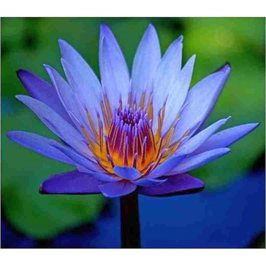 Nymphaea Capensis Images Stock yalty Free Nymphaea