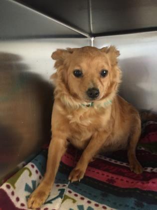 Petango Com Meet Bonnie A 2 Years 4 Months Chihuahua Short