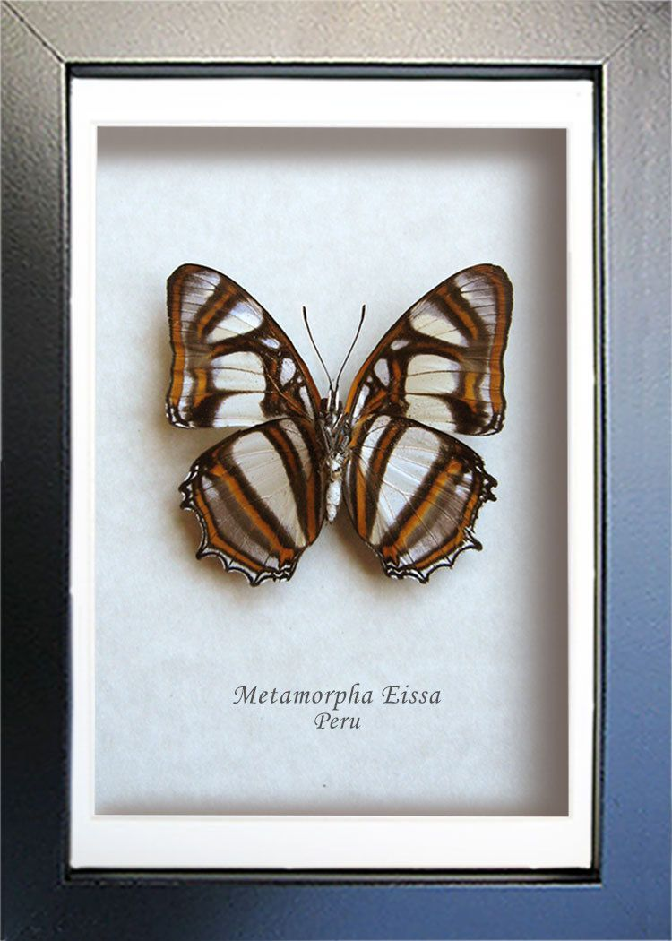 REAL SPOT SWORDTAIL BUTTERFLY TAXIDERMY INSECT PICTURE FRAME ENTOMOLOGY