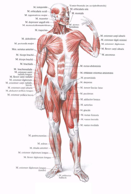 Мышцы картинки с надписями