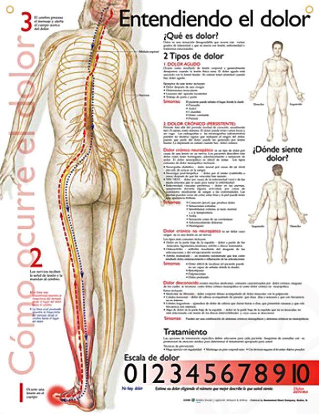 Contemporáneo Diagrama De Nervios Espalda Embellecimiento - Anatomía ...