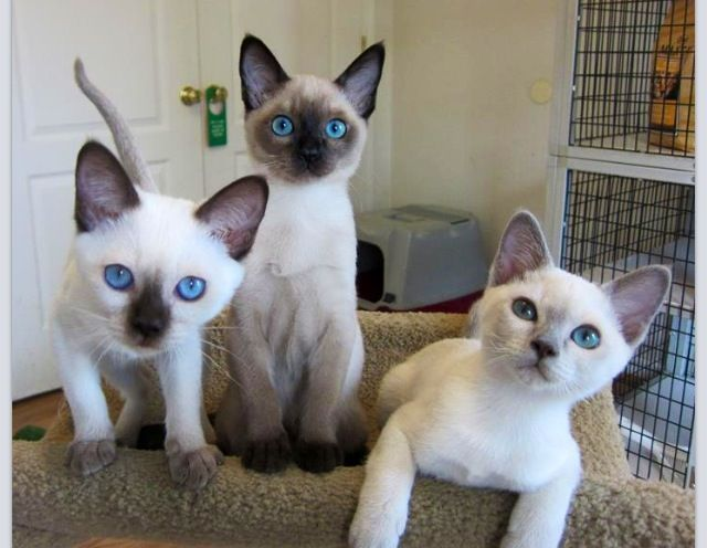 Pin By Lori Landi On Pets Tonkinese Cat Tonkinese Kittens Cats And Kittens